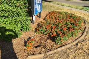 Pilfered public plants and hibiscus heist has city asking for help