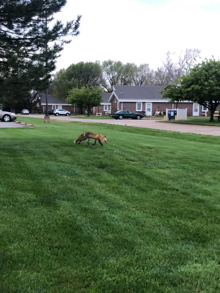 Fox sightings becoming more common in Halstead